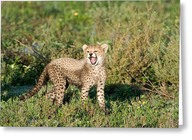 Cheetah Cub Acinonyx Jubatus Yawning Greeting Card by Panoramic Images