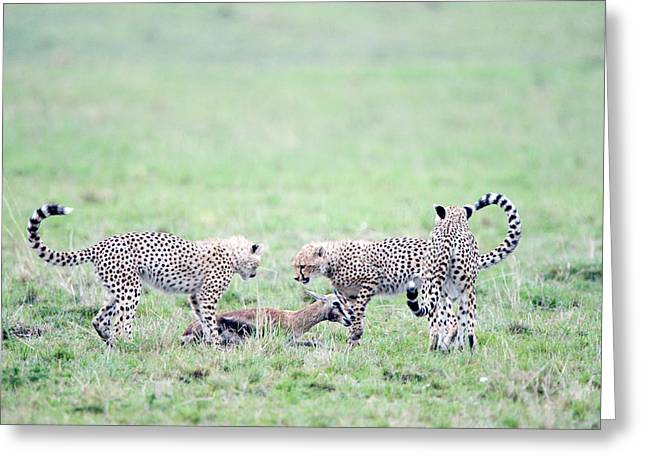 Cheetah Cubs Acinonyx Jubatus Hunting Greeting Card by Panoramic Images