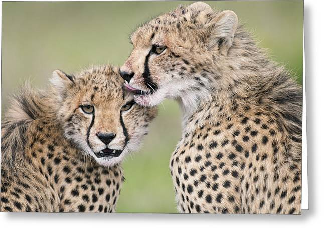 Cheetah Cubs Grooming Kenya Greeting Card by Tui De Roy