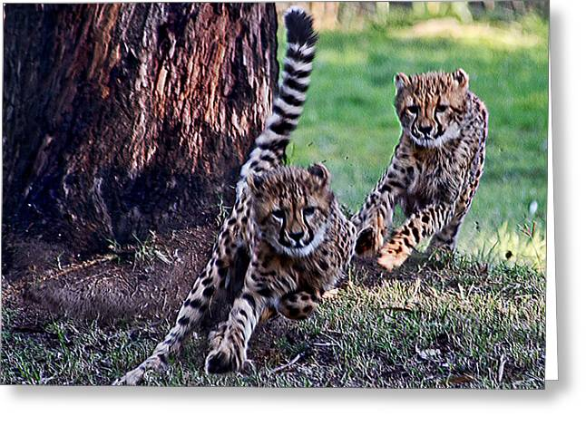 Cheetah Cubs Greeting Card