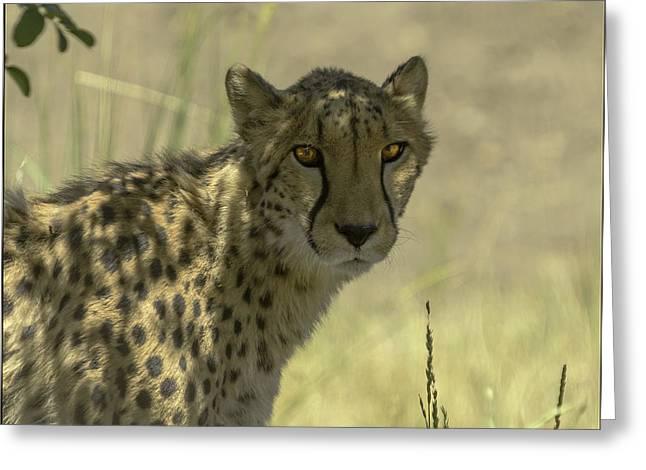 Cheetah Gaze Greeting Card by LeeAnn McLaneGoetz McLaneGoetzStudioLLCcom