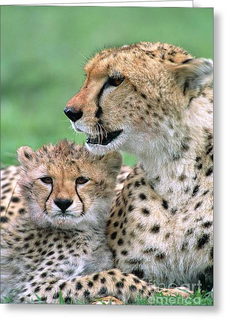 Greeting Card featuring the photograph Cheetah Mother And Cub by Yva Momatiuk John Eastcott
