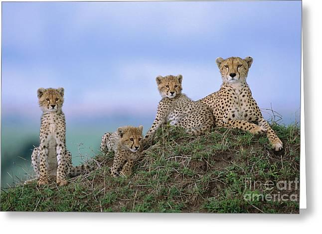 Cheetah Mother And Cubs Masai Mara Greeting Card by Yva Momatiuk John Eastcott