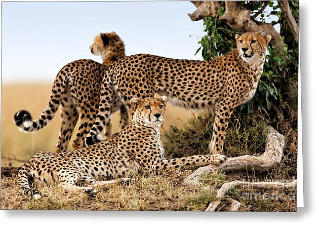 Cheetah Mother And Two Older Cubs In Masai Mara Greeting Card by Maggy Meyer