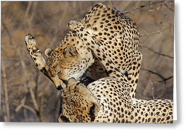 Cheetah Play Greeting Card