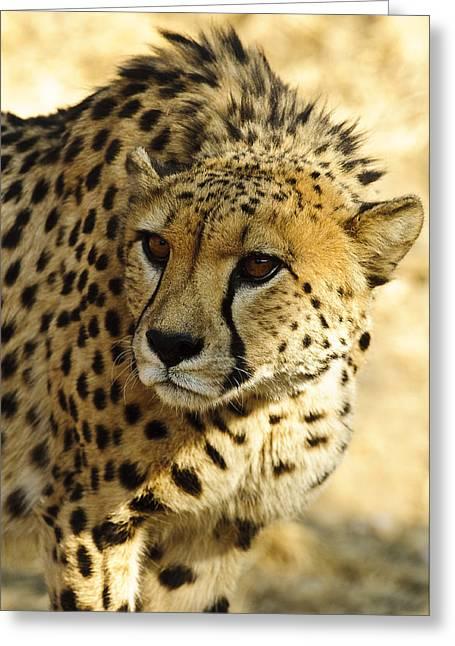 Cheetah Portrait  Greeting Card by Andy-Kim Moeller