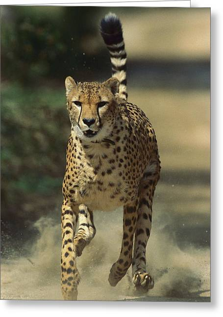 Cheetah Running Greeting Card by San Diego Zoo