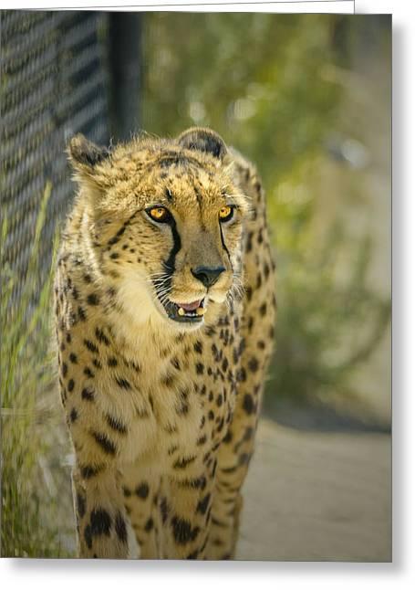 Cheetah Stare Greeting Card by LeeAnn McLaneGoetz McLaneGoetzStudioLLCcom