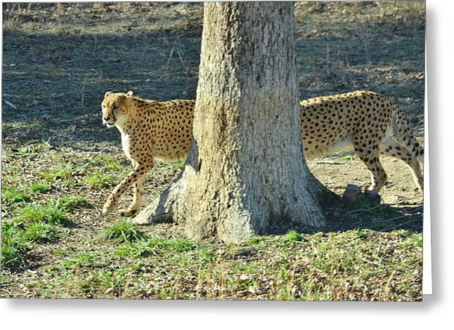 Cheetah Stretch Greeting Card