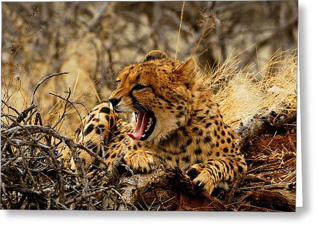 Cheetah Teeth Greeting Card by Stefan Carpenter