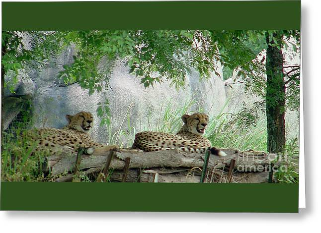 Cheetahs-120 Greeting Card by Gary Gingrich Galleries