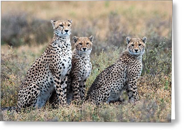 Cheetahs Acinonyx Jubatus In A Field Greeting Card by Panoramic Images
