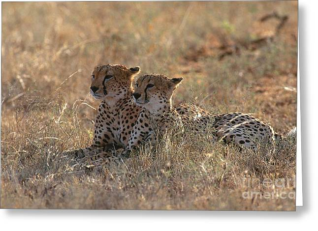Cheetahs Acinonyx Jubatus Jubatus Greeting Card by Art Wolfe
