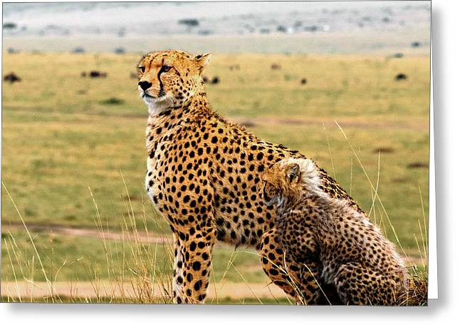 Cheetahs Greeting Card by Babak Tafreshi