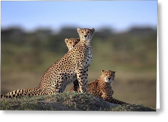 Cheetahs Family Greeting Card
