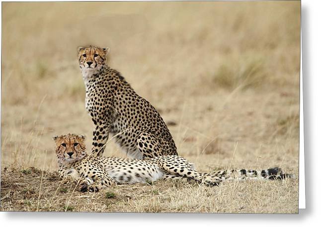 Cheetahs Resting Greeting Card