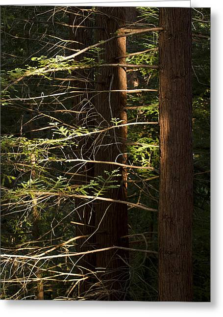 Cheit's Redwoods Greeting Card by Larry Darnell