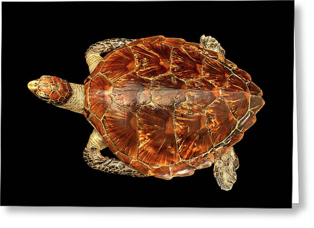 Chelonia Mydas Greeting Card by Natural History Museum, London