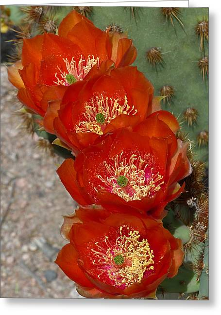 Greeting Card featuring the photograph Chenille Prickly Pear Quartet by Cindy McDaniel