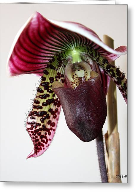 Greeting Card featuring the photograph Cherry Black Lady Slipper by Penny Hunt