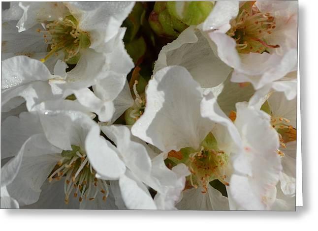 Cherry Blossom 1.1 Greeting Card