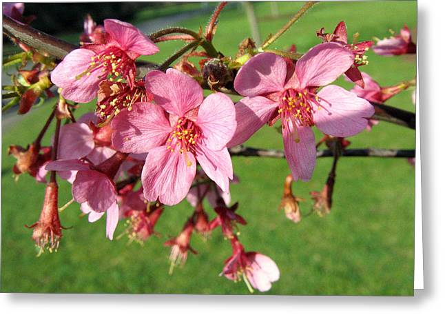 Cherry Blossom 2 Greeting Card