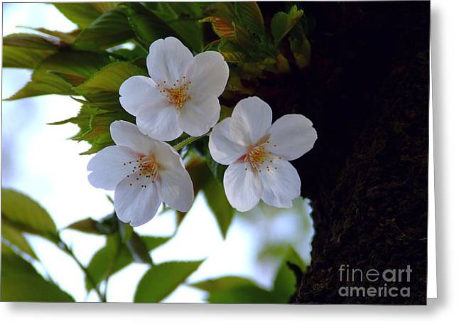 Cherry Blossom Greeting Card by Andrea Anderegg