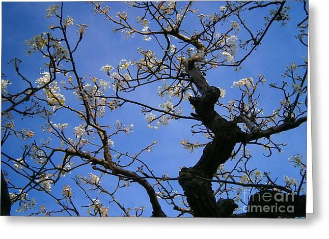 Cherry Blossom Greeting Card by Drew Shourd