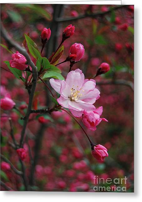 Greeting Card featuring the photograph Cherry Blossom by Eva Kaufman
