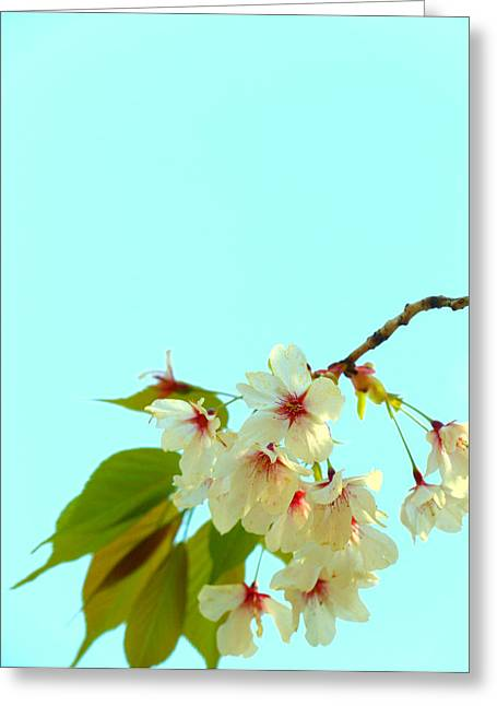 Greeting Card featuring the photograph Cherry Blossom Flowers by Rachel Mirror