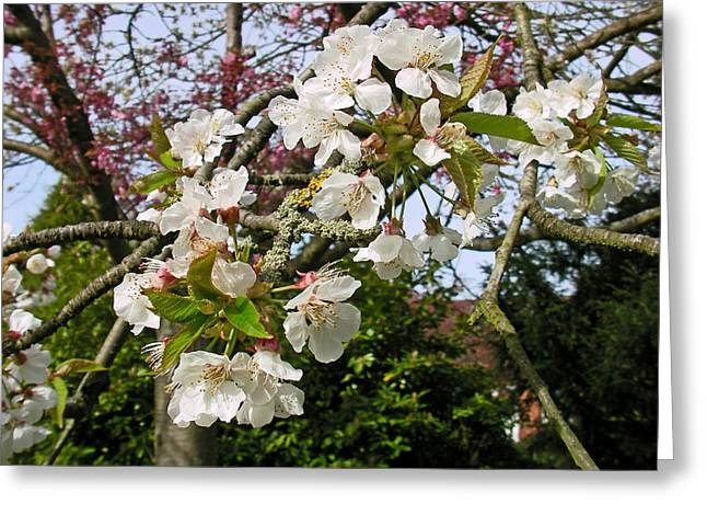 Cherry Blossom In The Spring Greeting Card