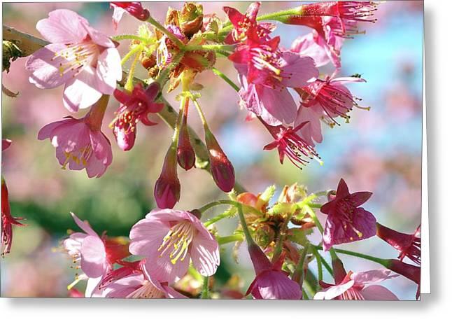 Cherry Blossom (prunus 'kursar') Greeting Card