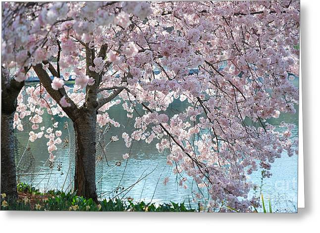 Cherry Blossom Greeting Card by Robin Hassler