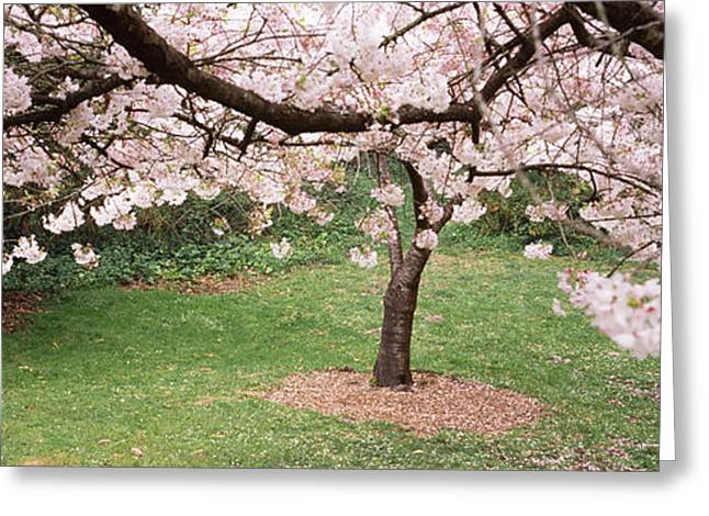 Cherry Blossom Tree In A Park, Golden Greeting Card by Panoramic Images