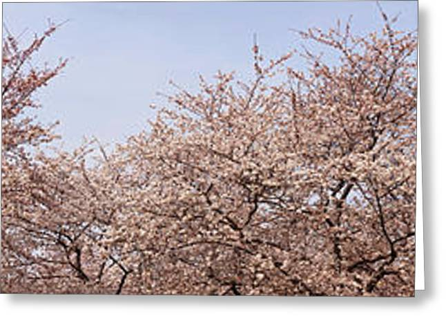 Cherry Blossom Trees And Willow Tree Greeting Card by Panoramic Images