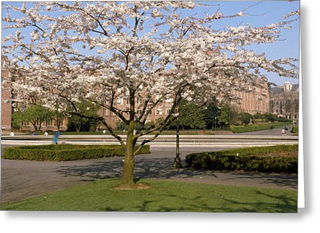 Cherry Blossom Trees In A University Greeting Card by Panoramic Images