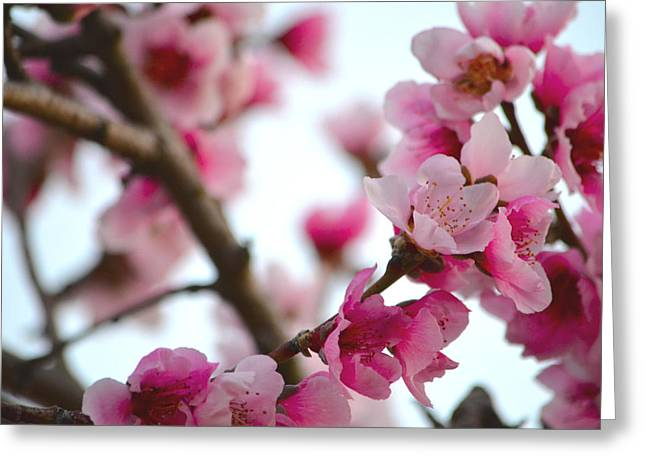 Cherry Blossoms 1 Greeting Card by Deprise Brescia
