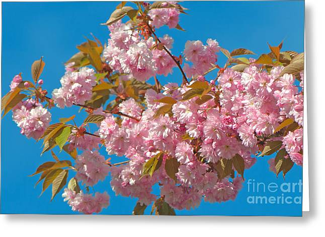 Cherry Blossoms 2 Greeting Card by Sharon Talson