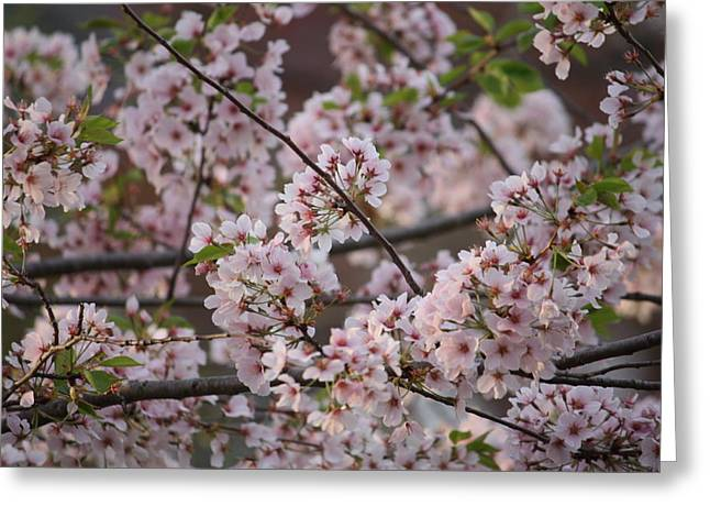 Cherry Blossoms 2010 Greeting Card