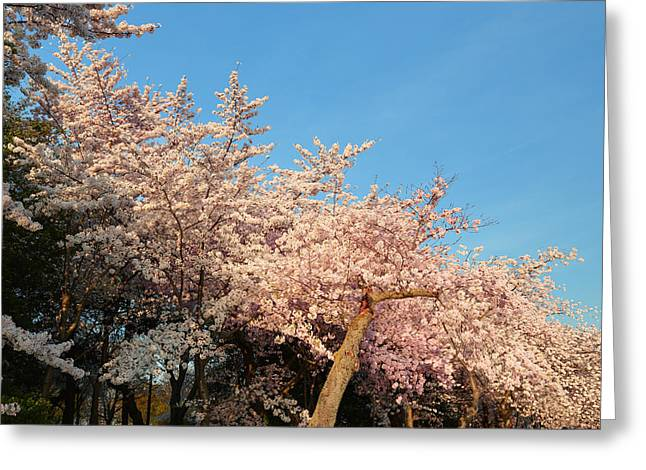Cherry Blossoms 2013 - 019 Greeting Card by Metro DC Photography