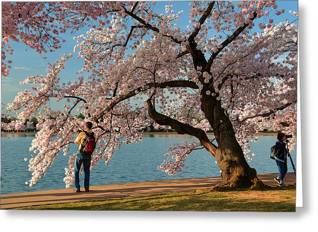 Cherry Blossoms 2013 - 028 Greeting Card