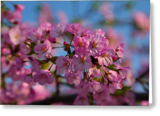 Cherry Blossoms 2013 - 031 Greeting Card by Metro DC Photography