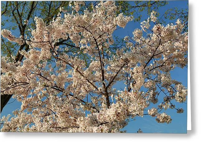 Cherry Blossoms 2013 - 036 Greeting Card by Metro DC Photography
