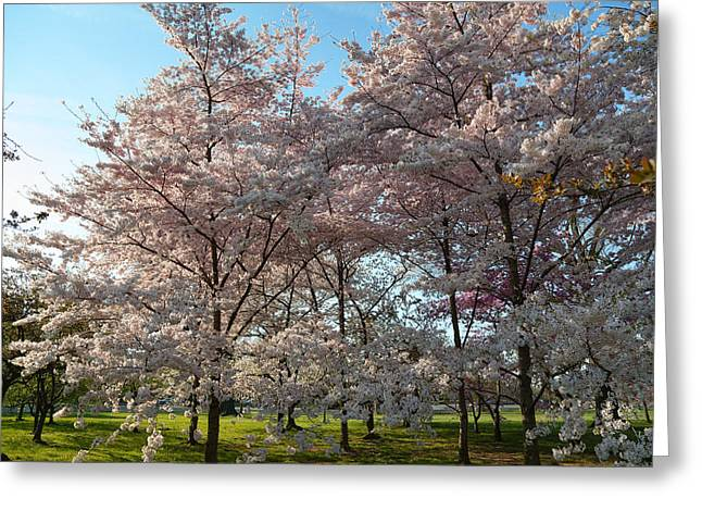 Cherry Blossoms 2013 - 049 Greeting Card