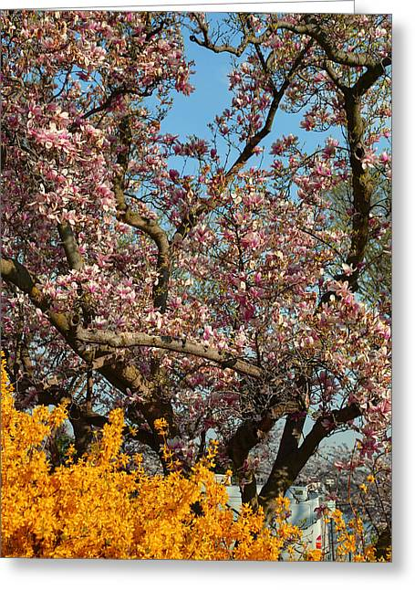 Cherry Blossoms 2013 - 051 Greeting Card by Metro DC Photography