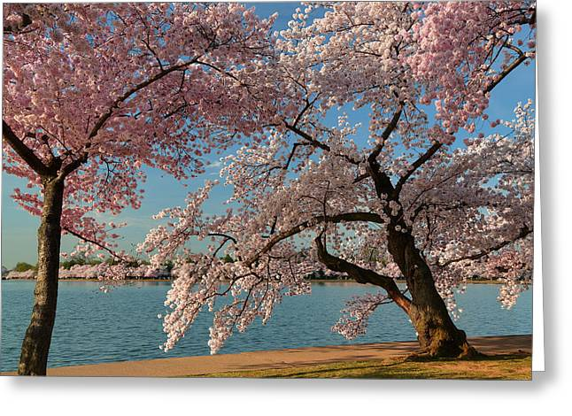 Cherry Blossoms 2013 - 063 Greeting Card