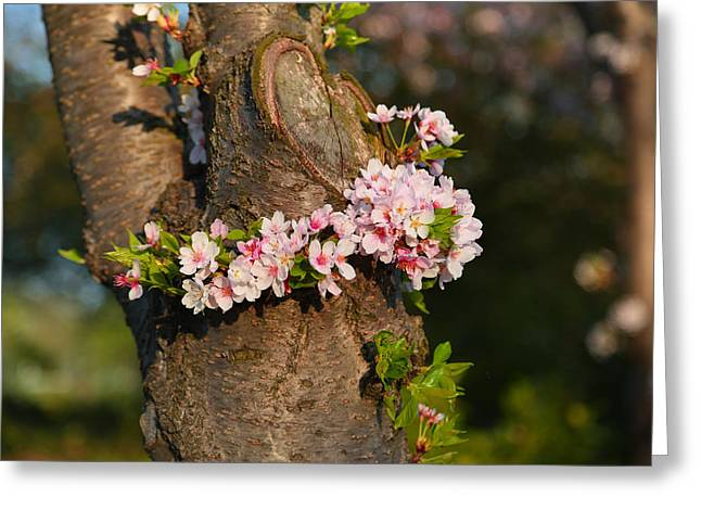 Cherry Blossoms 2013 - 064 Greeting Card by Metro DC Photography
