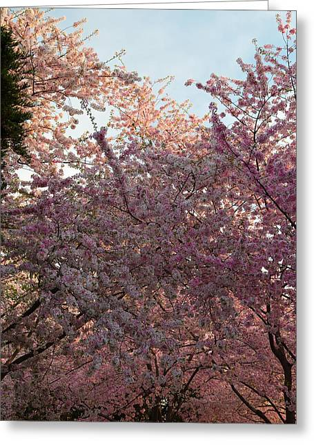 Cherry Blossoms 2013 - 065 Greeting Card by Metro DC Photography
