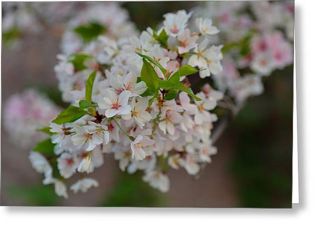 Cherry Blossoms 2013 - 068 Greeting Card by Metro DC Photography