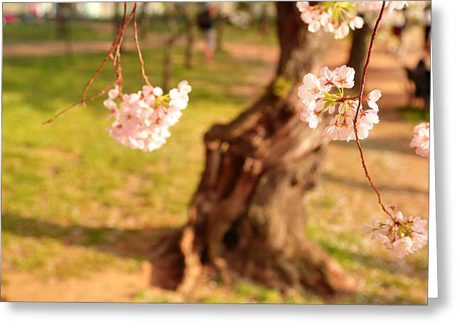 Cherry Blossoms 2013 - 086 Greeting Card